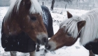 horses kiss